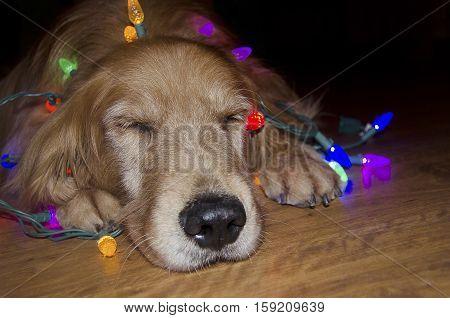 sleeping golden retriever in tangled glowing Christmas lights