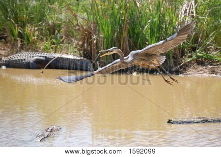 Heron Takes Off As Alligator Approaches