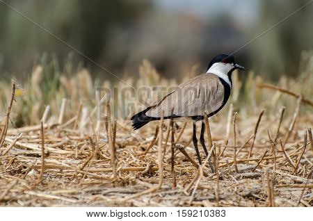 Wild lapwing standing in dry grass. Israel