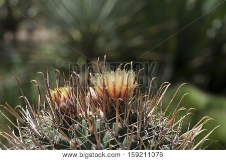 Top Of A Flowering Ferocactus Wislizeni, Fishhook Barrel Cactus