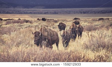 Retro Toned Herd Of American Bison Grazing In The Grand Teton National Park, Wyoming, Usa.