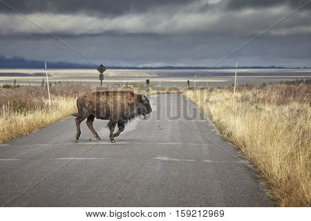 Young American Bison Running Across Road In Grand Teton National Park, Wyoming, Usa.