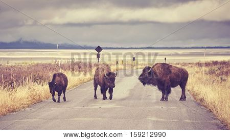 Vintage Toned American Bison Crossing Road In Grand Teton National Park, Wyoming, Usa.