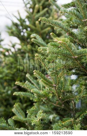 close up on Christmas trees in the greenhouse
