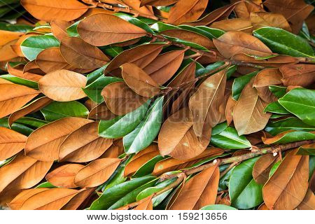 branches of magnolia leaves used for making fresh natural Christmas arrangements