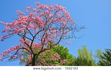 Spring Tree In Bloom