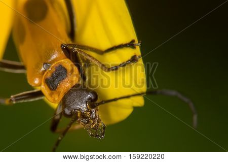 Pennsylvania Leatherwing Beetle With Pollen