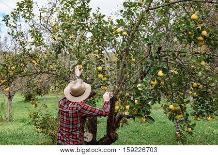 Farmers Market, Healthy Food:  Farmer Man Gathers Organic Homegrown Quince