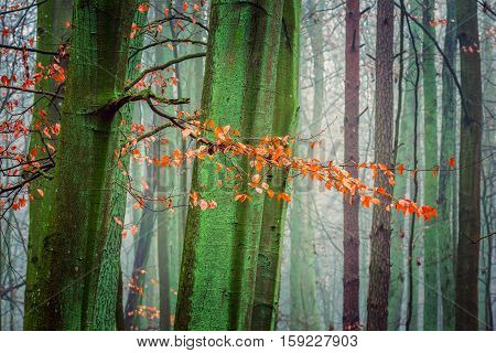Close Up Of Orange Beech Leaves On Branch