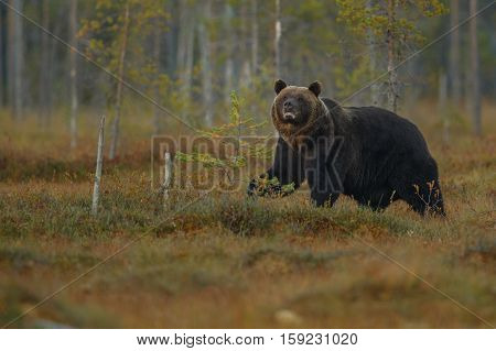 Brown bear in the nature habitat of finland land, finland wildlife, rare encounter, big predator, european wild nature, forest king