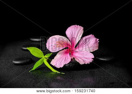 spa background of pink hibiscus flower and twig bamboo on zen basalt stones with drops closeup