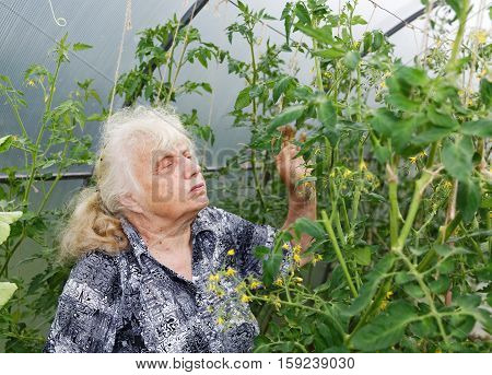 Gray-haired Grandmother Considers Bush Tomatoes In A Greenhouse