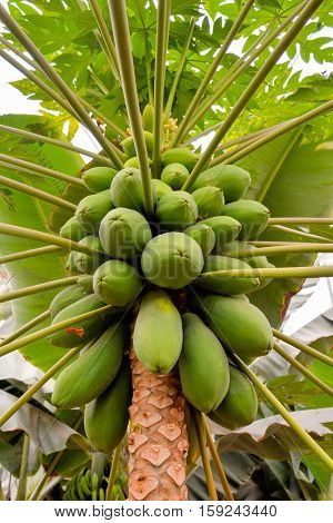 Papaya Tree With Fruits