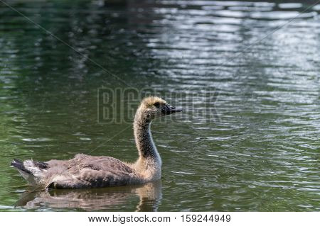 Close up of a young swimming Canada Goose. Young Canada Goose