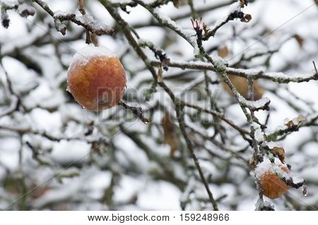 The brown apple on a branch covered with a sleet.