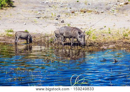 The family of warthogs. Chobe National Park in Botswana. Watering large animals in the Okavango Delta. The concept of exotic and extreme tourism
