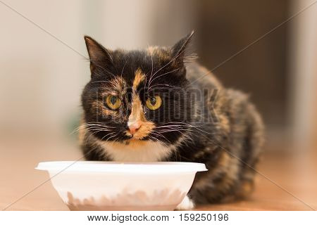 Young tortoiseshell cat sitting near a plate of food
