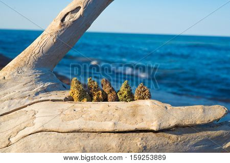 Assorted cannabis buds against ocean and blue sky - medical marijuana concept