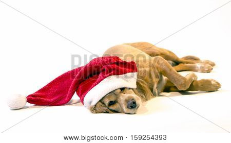 A very cute dog waiting for Christmas