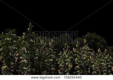 3d Illustration of a marijuana field isolated on black background