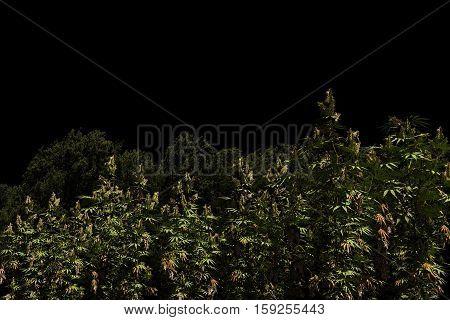 3d illustration of a marijuna field isolated on black background