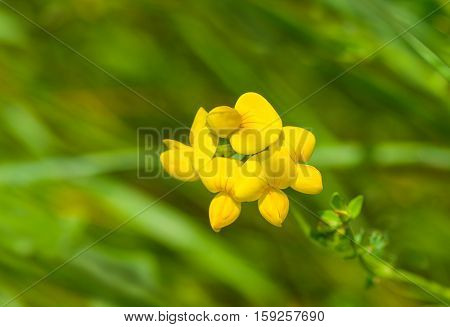 Wild yellow beauty in hot summer herbs