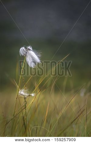 White cotton grass growing on the vast spaces of the Sarek plains Sweden