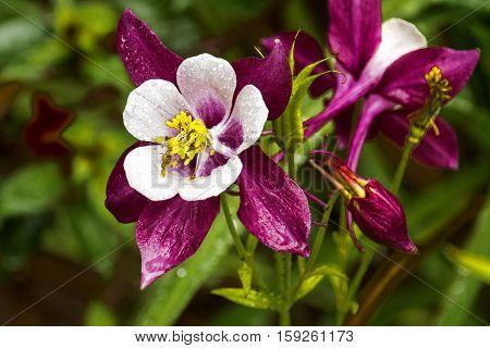 Colorful White Purple And Yellow Aquilegia Columbine Flower