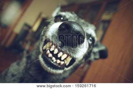 Grey shepherd grins - in the house