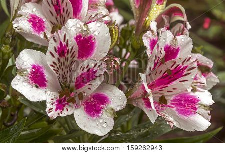 Colorful  Patterns And Texture Detail  Of Alstromeria Flowers