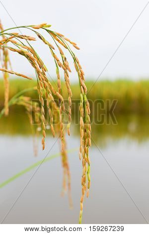Close up Rice is ripening In the field