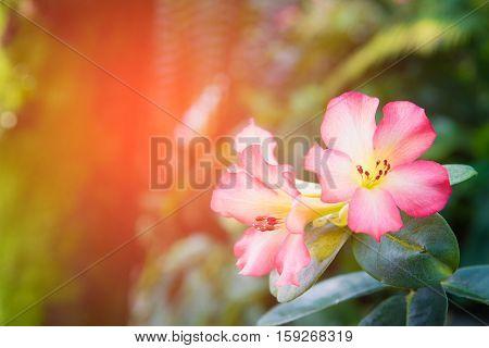 Close up Desert Rose-Impala Lily- Mock Azalea