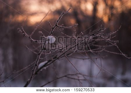 Branches Without Leaves, Thorns, Cold Winter Morning