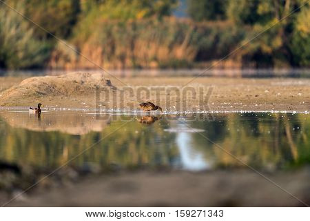 Foraging Female Mallard At The Edge Of Water.