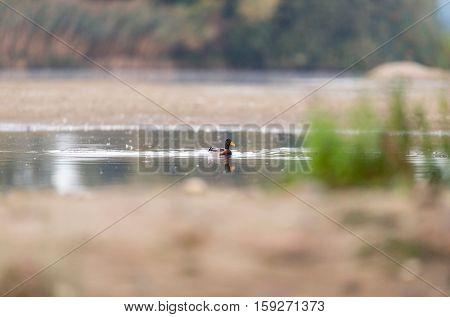 Male mallard duck swimming in a pond.