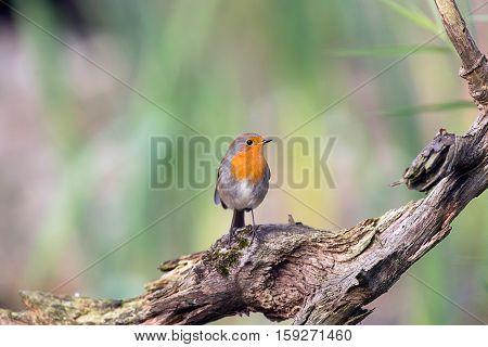 European Robin Perching On Piece Of Dead Wood.