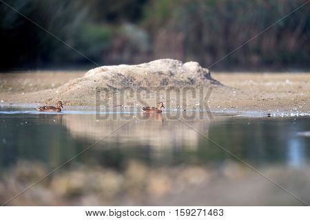 Two Female Mallards Swimming In Water Of Small Lake.
