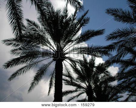 Dark Palm Trees