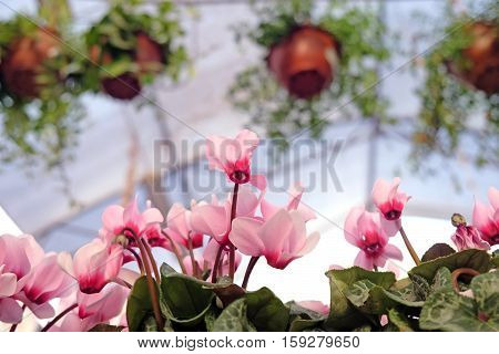 Pink cyclamen in a flower shop on the background of pots with ample plants