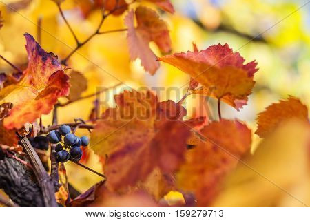 Blue vine grape on grapevine with some leaves in a styrian vine route