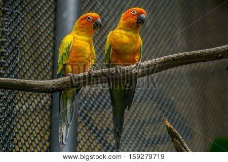 ellow bird standing on the branch in cage Sun Conure (Aratinga solstitialis)