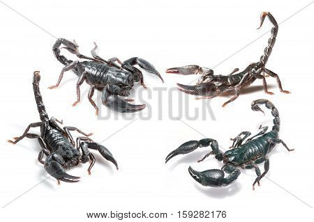 collection of scorpion isolated on white background