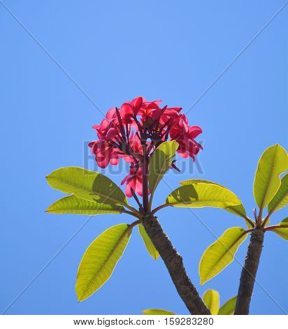 Pink frangipani lei flowers over blue sky