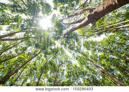 Sun Beam On Rubber Tree Plantation