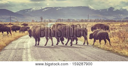 Retro Toned Herd Of American Bison Crossing Road At Sunrise, Wyoming, Usa.