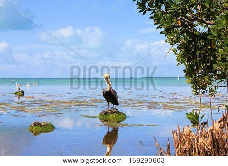 Brown pelican at Everglades National Park swamps