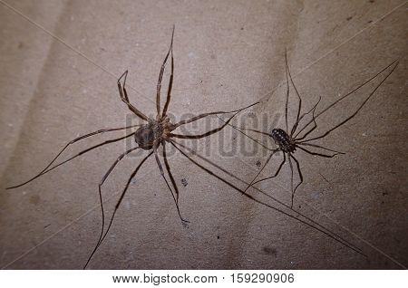 A pair of harvest men arachnids on a cardboard
