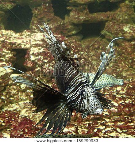 A big lion fish swimming slowly underwater