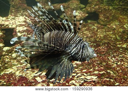 A big lion fish swimming in water