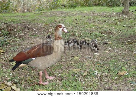 A Nile goose with some goslings on grass